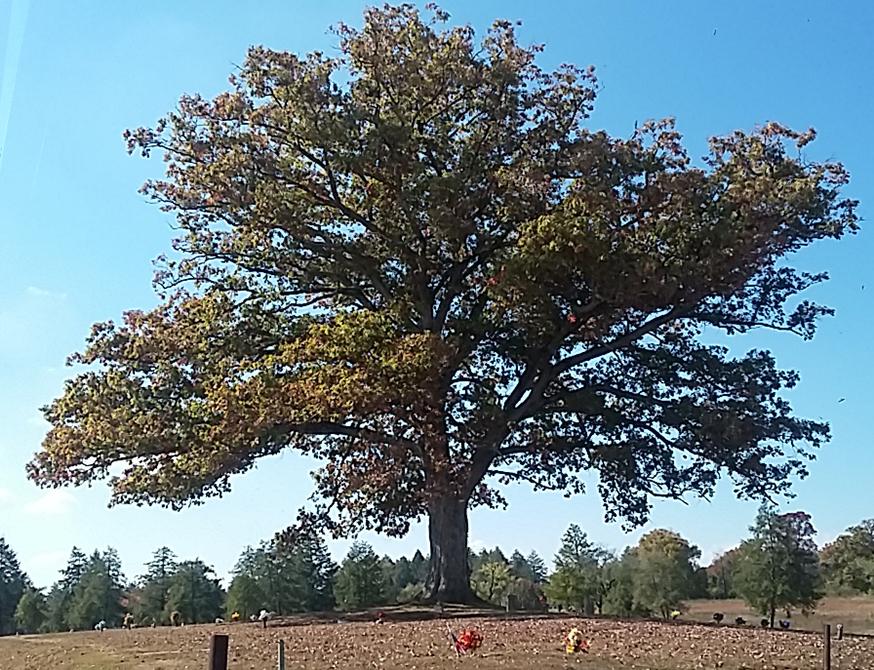 Adair Oak of Fountain City