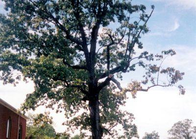 Battle Creek Black Oak