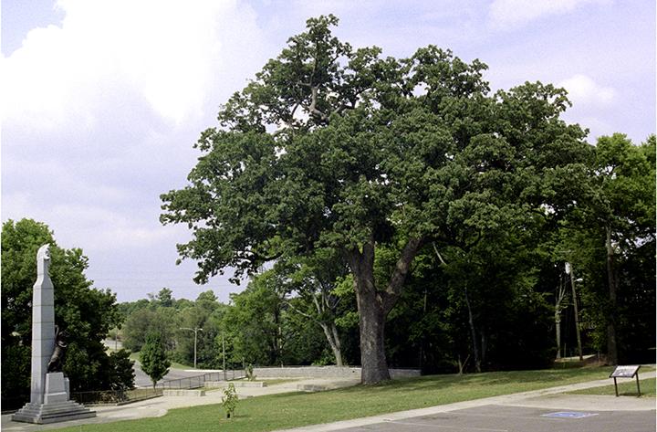 Battle of Nashville Oak #2