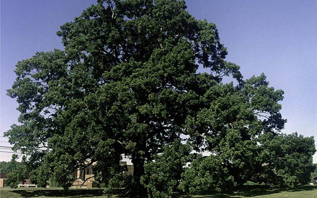 Birthing Tree White Oak #4