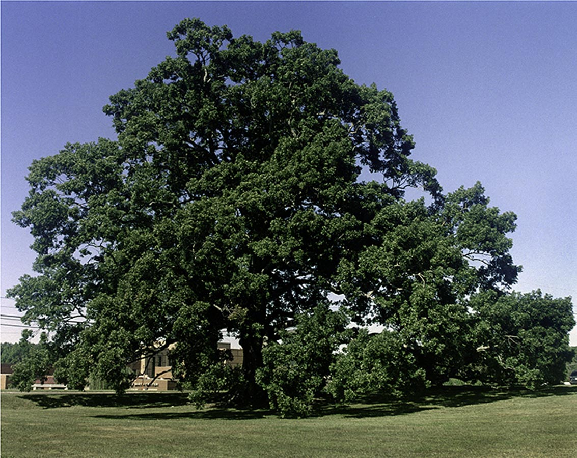 Birthing Tree White Oak