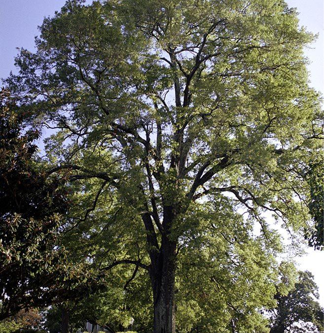 Bonny Oaks Willow Oak #3