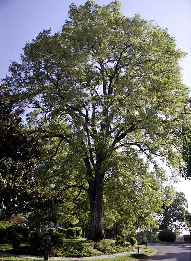 Bonny Oaks Willow Oak