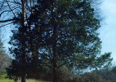 Burnett-Thomas Garden Holly #31