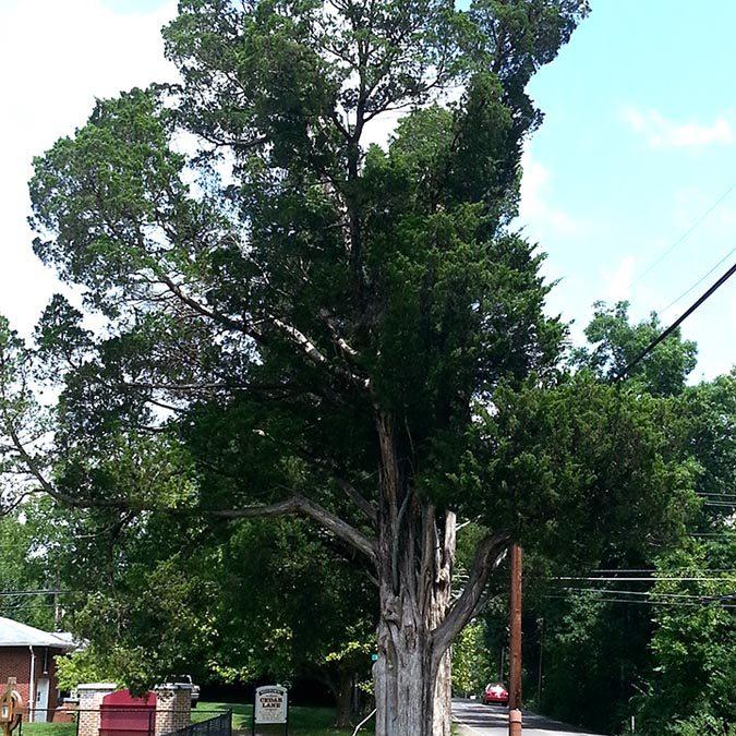 Cedar Lane Cedars #5