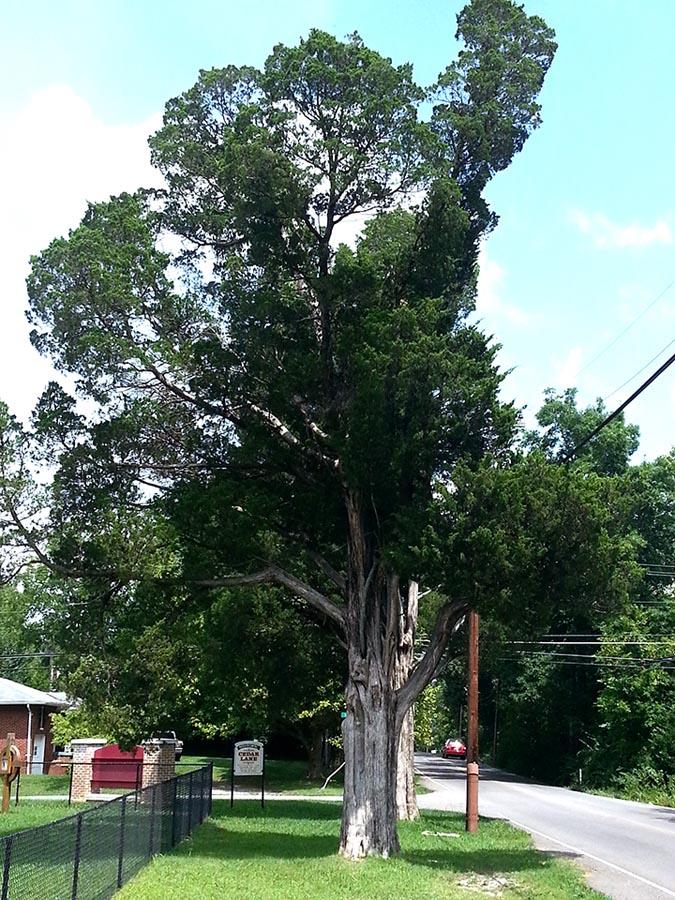 Cedar Lane Cedars