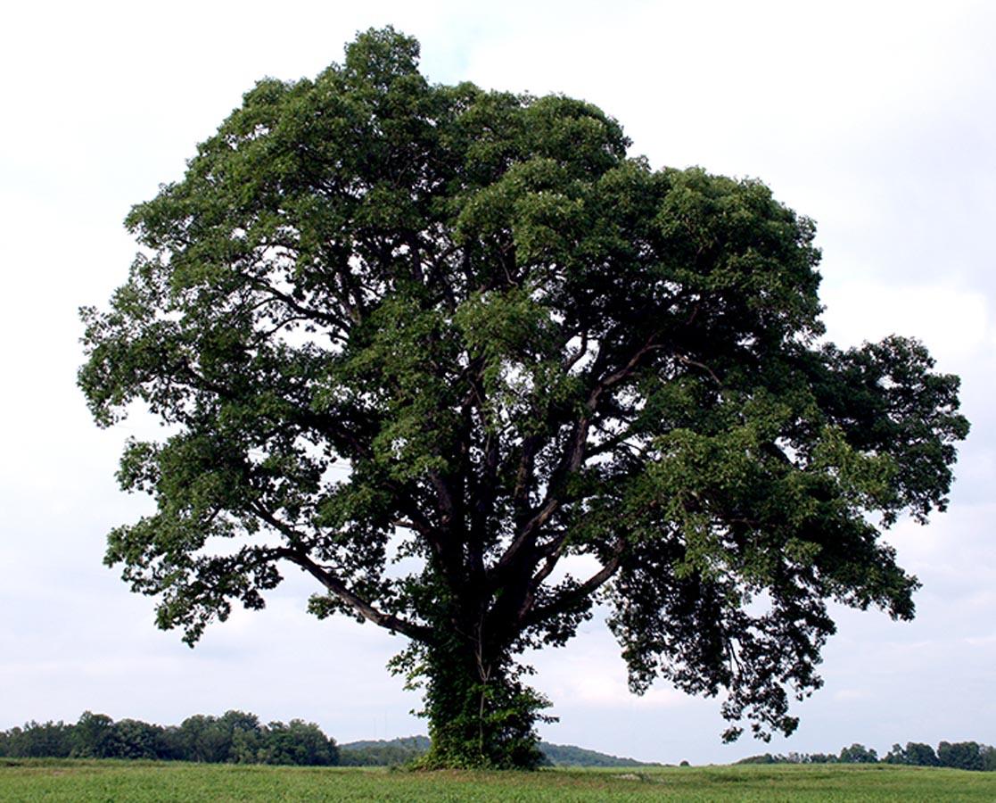 Cherokee Oak