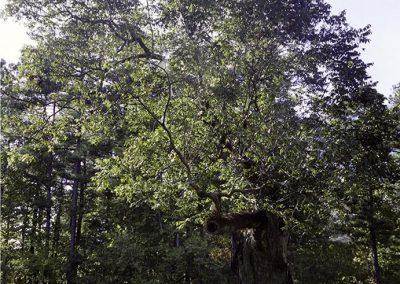 Natchez Trace Pecan