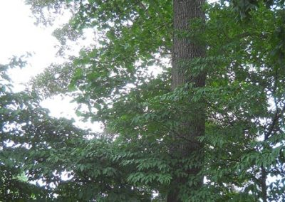 New Hope Cemetery Black Oak #32