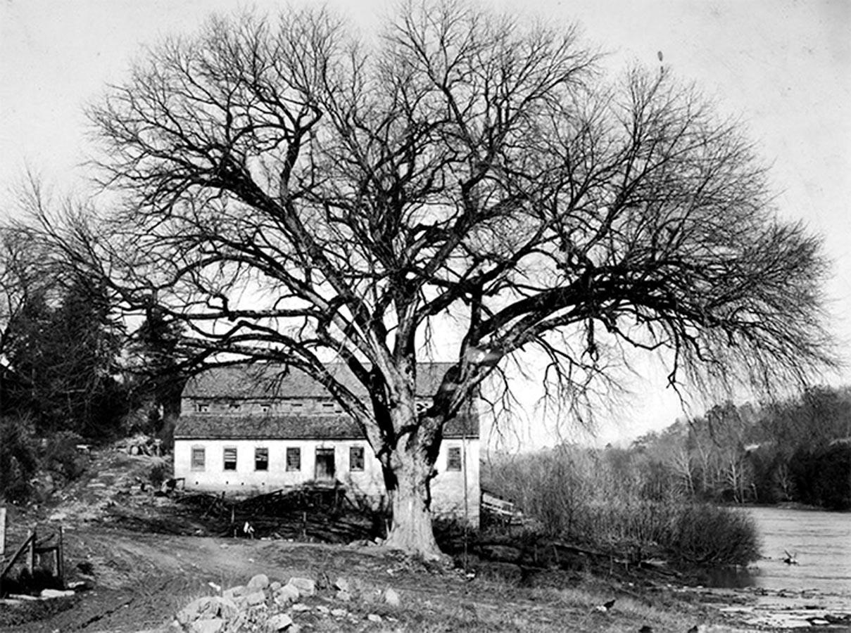 Rotherwood Elm
