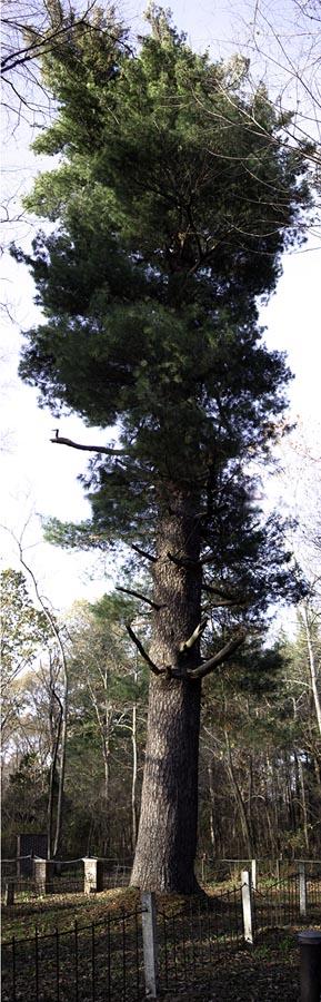 Samuel Smith White Pine