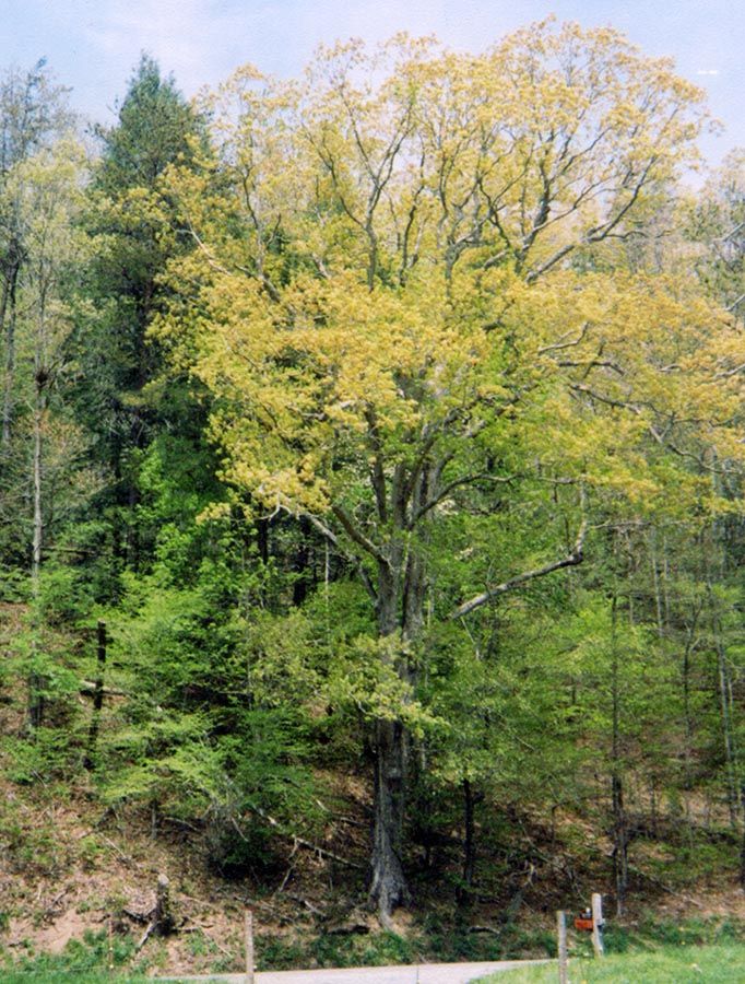Suttles Boundary Oak