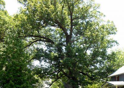 Sycamore Valley Overlook Oak #20