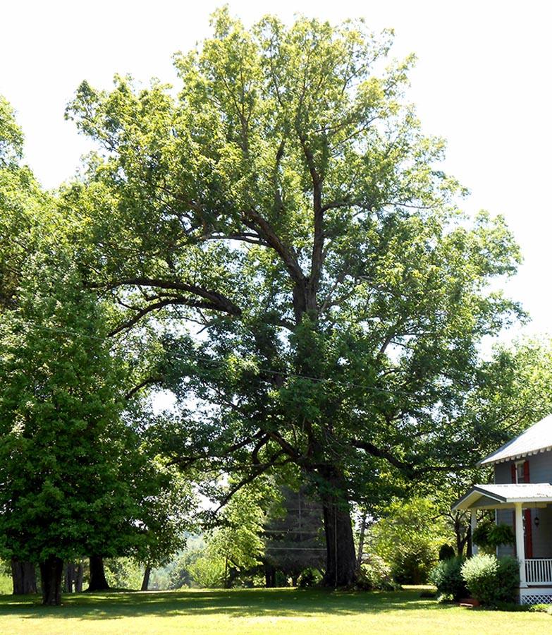 Sycamore Valley Overlook Oak