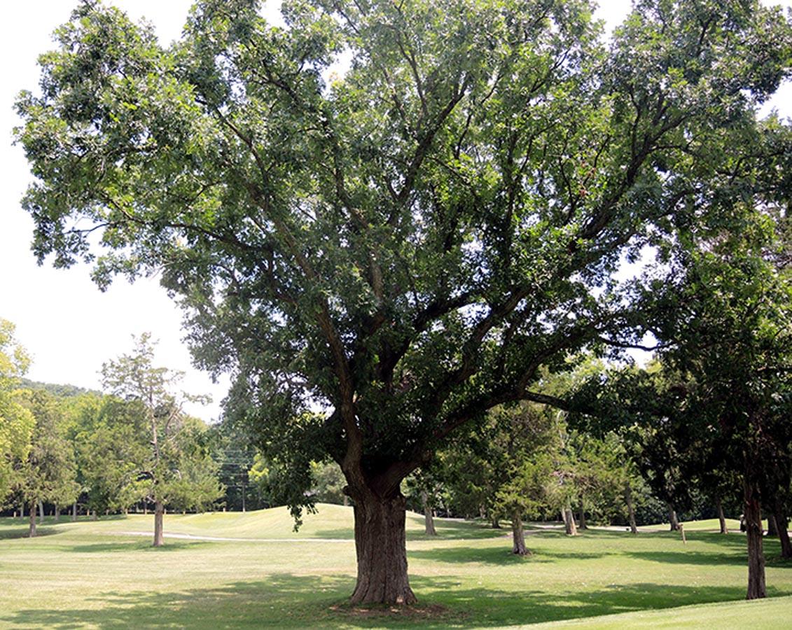 Witness Tree of Richland