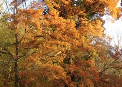 Wolf Creek Cypress #33