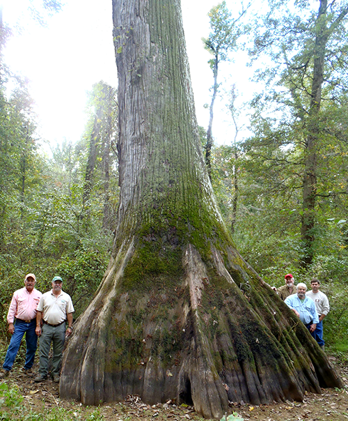 Big Hatchee Cypress