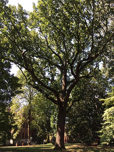 Bicentennial Oak of Vanderbilt