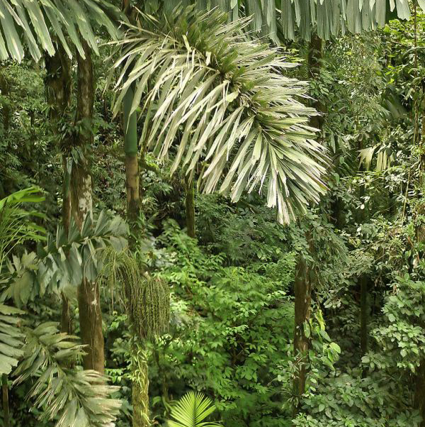 The Ecuadorian Walking Palm Tree
